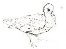 Iron Cove Man Bird, 2005, ink on paper, 59 x 84 cm